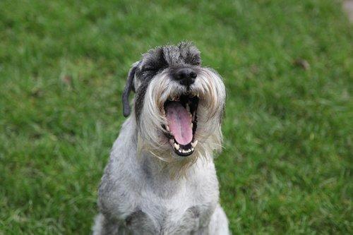 schnauzer  dog  pet