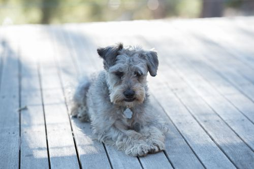schnoodle dog domestic