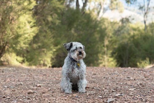 schnoodle  dog  canine