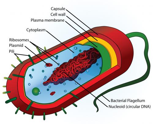 mokykla,švietimas,mokslas,diagrama,ląstelė,animacinis filmas,etiketės,medicina,dalys,tuščias,etiketė,gyvūnas,struktūra,biologija,paženklinta etikete,mokymasis,ląstelės,liga,bakterijos,ženklinimas,paženklinta etikete,bakterijų,vidurkis,tipiškas,nepažymėtas,nepažymėtas,bakterija,dalis,nemokama vektorinė grafika