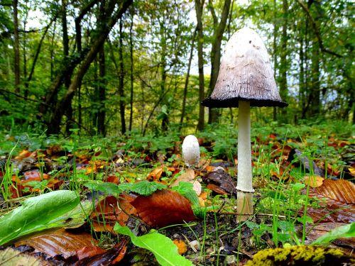 schopf comatus mushrooms mushroom