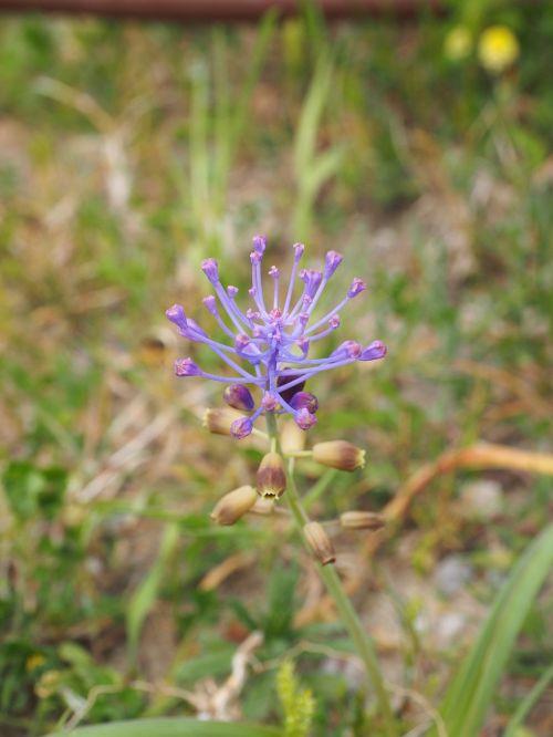 schopf-grape hyacinth blossom bloom