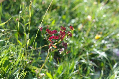 schötchen seeds red