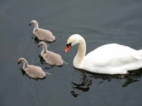 schwaenenfamilie swans swan babies