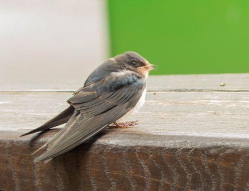 schwalbe bird nature