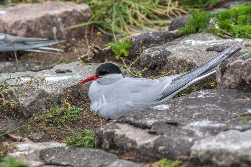 schwalbe bird arctic tern