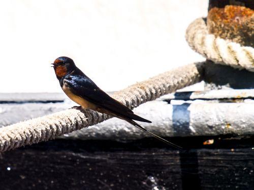 schwalbe barn swallow bird