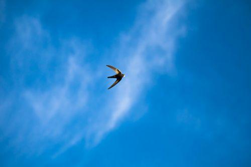 schwalbe bird air