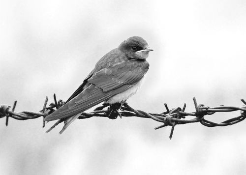 schwalbe bird martin