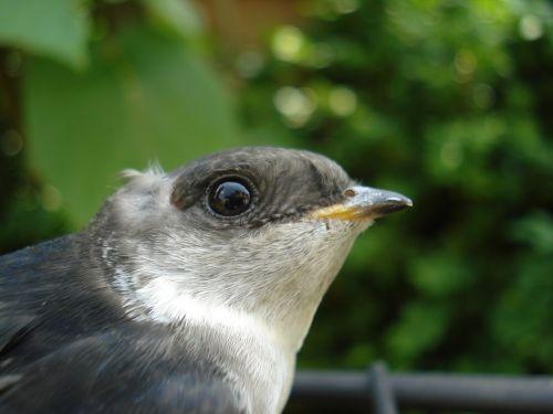 schwalbe close bird