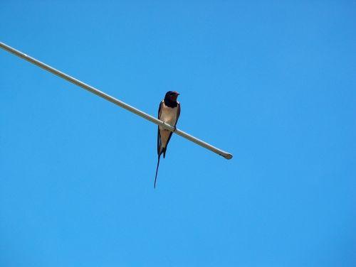 schwalbe animal bird