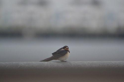 schwalbe  birds  nature
