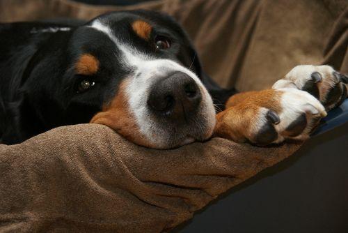 schweizer sennenhund dog mountain dog