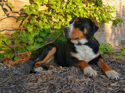 schweizer sennenhund dog black