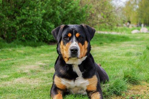 schweizer sennenhund  mammal  dog