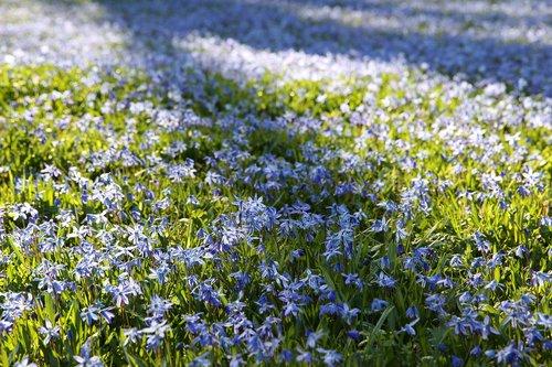 scilla  spring  spring flower