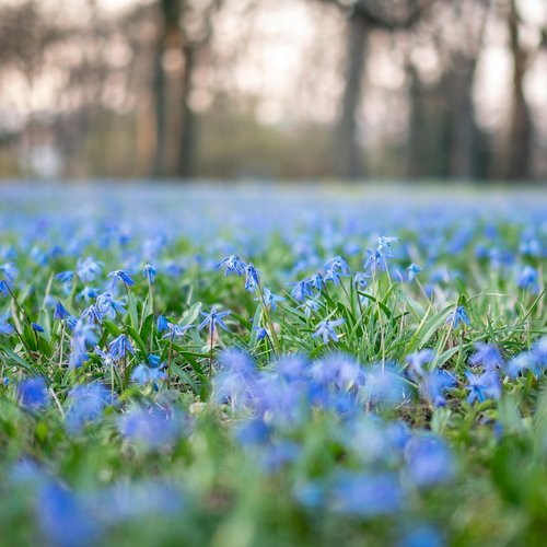 scilla siberica  scilla  flower