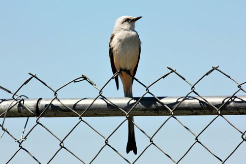 Scissor Tailed Flycatcher On Fence