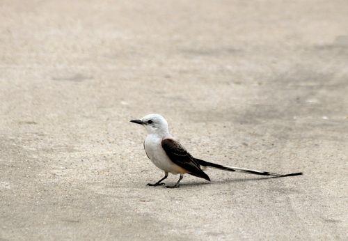 Scissor-tailed Flycatcher On Ground