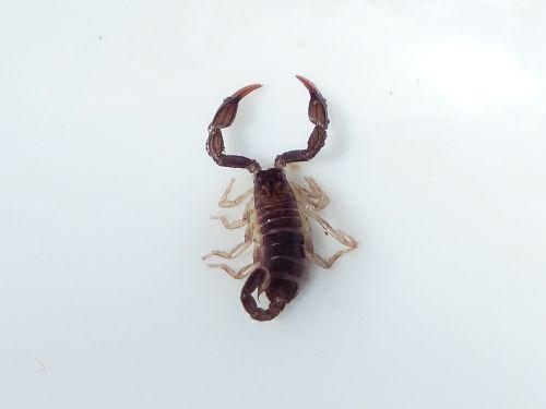scorpio animal sting