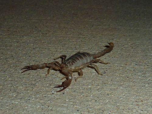 scorpio sting animal