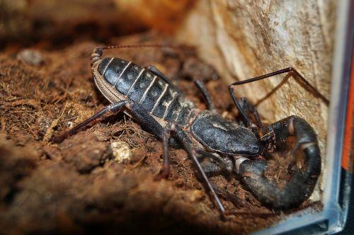 scorpio animal thai scorpion