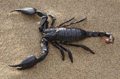 scorpion desert sands