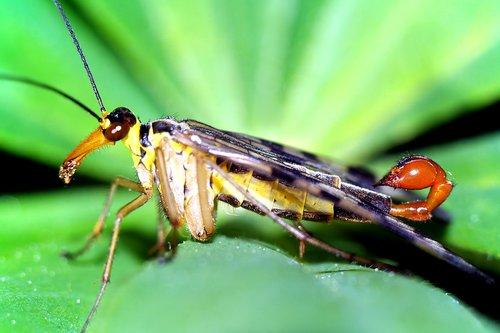 scorpionica total  insect  closeup