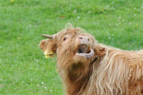 scotland highland beef pasture