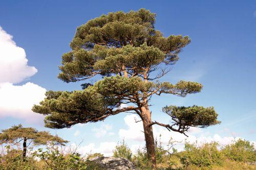 scots pine pinus sylvestris burren