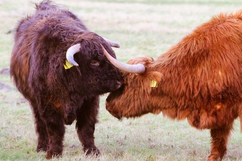 scottish highlanders cow beef