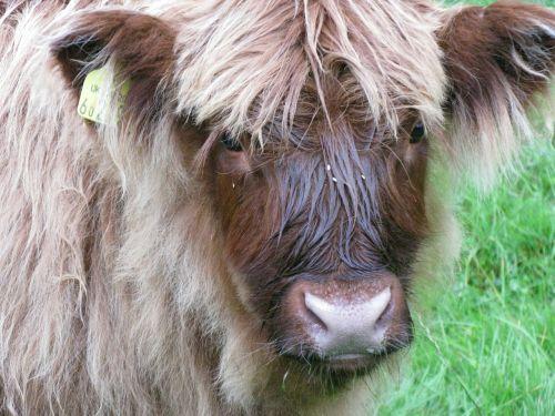 scottish hochlandrind scotland beef