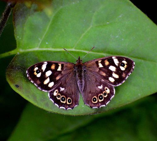 scottish speckled wood speckled wood butterfly butterfly