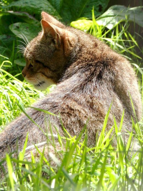scottish wildcat wildcat mammal