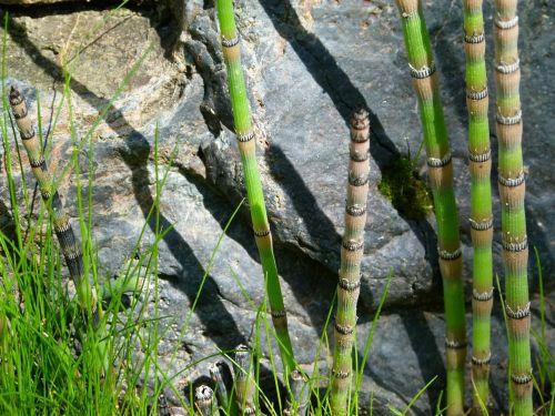 scouring rush horsetail plant