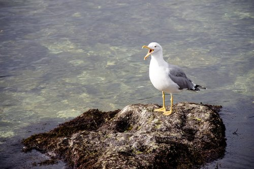screaming cormorant  bird  sea