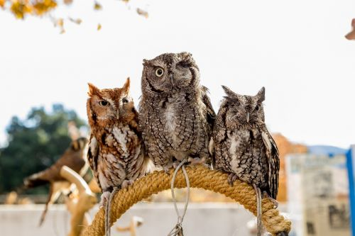 screech owls wildlife birds