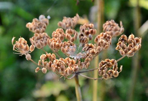 screen flower  hogweed  overblown