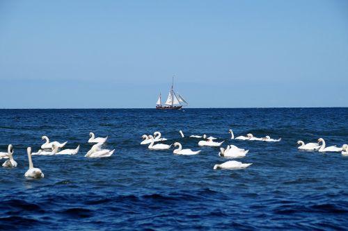 sea sailing boat swans