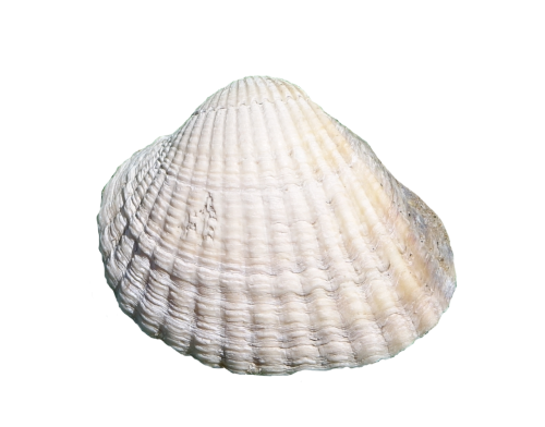 sea shell masked