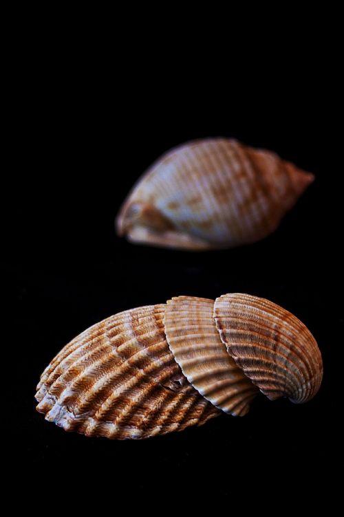 sea shells clams