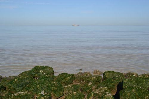 sea rock alga