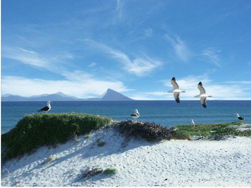 sea gulls seagull