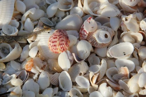 sea mussel shells beach