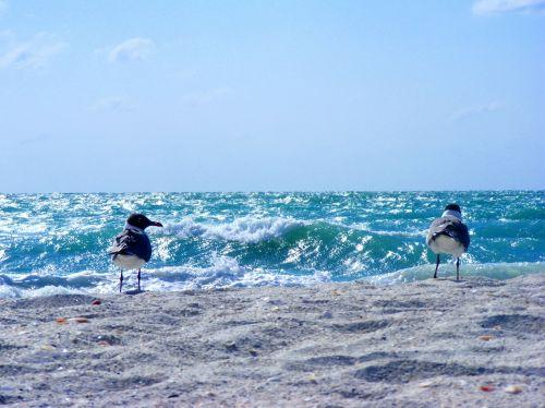 sea gulls bird