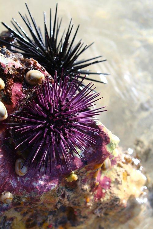 sea  sea food  urchin