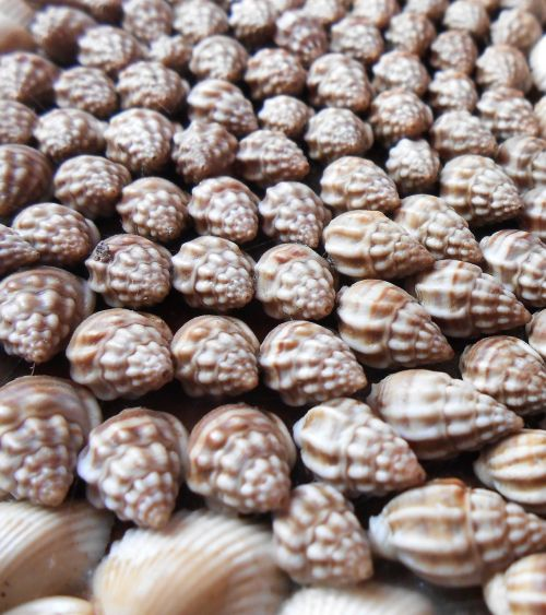 sea shells nature