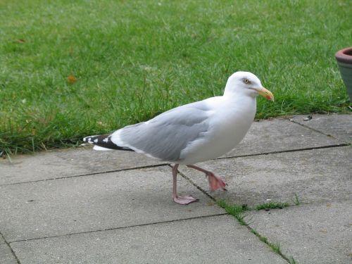 sea herring gull nature