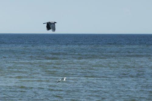 jūra,papludimys,dangus,varna,paukštis,musia,skrydis,mėlynas,gamta