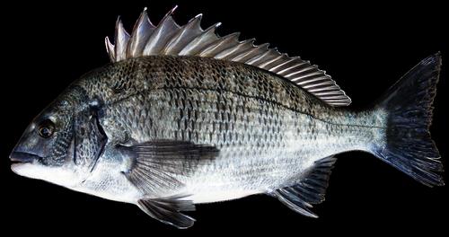 sea bream  fish  bream